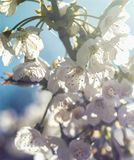 Beautiful sunny bright photo of blooming cherry tree royalty free stock images