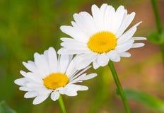 Beautiful sunny chamomile flowers Stock Images