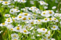 Beautiful sunny chamomile flowers Royalty Free Stock Photography