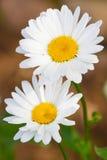 Beautiful sunny chamomile flowers Stock Photography
