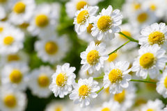 Beautiful sunny chamomile flowers Stock Photo