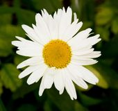 Beautiful sunny chamomile flowers close-up Stock Photo