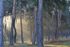 Beautiful sunny dawn in a pine forest Royalty Free Stock Photo