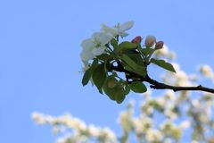 Apple blossom during magical springtime royalty free stock image