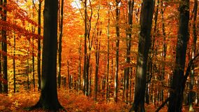 Beautiful sunny day in the autumn golden forest royalty free stock images