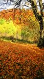 Beautiful sunny day in the autumn golden forest royalty free stock image