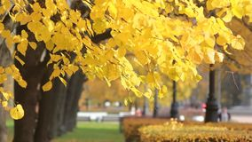 A beautiful sunny day - a fall in the autumn park. Autumn Park - bright yellow leaves glow in the sun. A beautiful sunny day - a fall in the autumn park stock footage