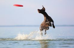 On the beautiful sunny day at the lake the playful dog is jumping from the water. Splashes and waves. Silhouette reflection. Funny twisted ears. Thoroughbred royalty free stock image
