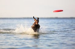 On the beautiful sunny day at the lake the playful dog is jumping from the water. Splashes and waves. Silhouette reflection. Funny twisted ears. Thoroughbred stock images