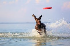 On the beautiful sunny day at the lake the playful dog is jumping from the water. Splashes and waves. Silhouette reflection. Funny twisted ears. Thoroughbred royalty free stock photography