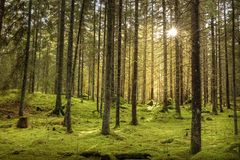 Beautiful sunny fir forest. Green moss on the ground. Sweden royalty free stock photography