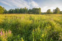 Beautiful sunny and foggy morning on a summer meadow Stock Image