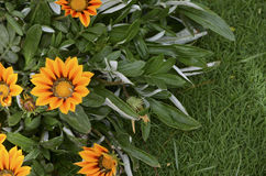 Beautiful Sunny Gazania flower blossoms in the garden. Summer floral Background with space for text Royalty Free Stock Photography