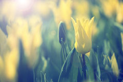 Beautiful sunny yellow color blurred tulips Royalty Free Stock Photo