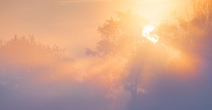 Beautiful sunrays shining through trees in fog. Royalty Free Stock Image