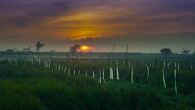 Beautiful sunrise in the cloud with rice field in tanjung rejo kudus, indonesia. Beautiful sunrise in the cloud with green rice field in tanjung rejo kudus royalty free stock photo