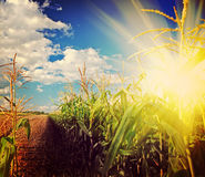 Beautiful sunrise on corn field after harvest instagram stile Royalty Free Stock Photos