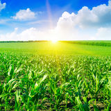 Beautiful sunrise on cornfield Royalty Free Stock Images