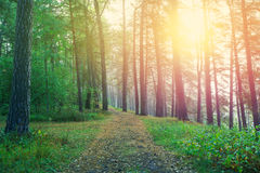 Beautiful sunrise in forest. Stock Photography