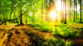 Beautiful sunrise in a forest stock photography
