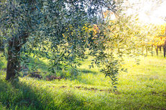 Beautiful sunrise landscape of Olive trees plantation Royalty Free Stock Image