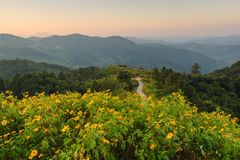 Beautiful sunrise at mexican sunflower weed on the hill, Thailan Royalty Free Stock Photo