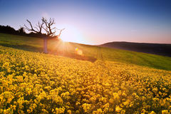 Beautiful sunrise over field of rapeseed Stock Images