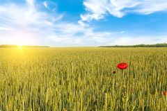 Beautiful sunrise over field of wheat with bright red poppies flowers stock images