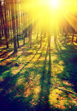 Beautiful sunrise in pinetree forest instagram stile Stock Images