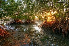 Red Mangroves at sunrise at Matheson Hammock Park in Miami, Florida royalty free stock image