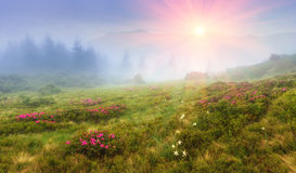 Beautiful sunrise in the spring mountains. View of hills, covered with fresh blossom rododendrons. stock photography