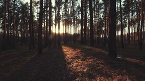 Beautiful Sunrise Sun Sunshine In Sunny Spring Coniferous Forest. Sunlight Sunbeams Through Woods In Forest Landscape