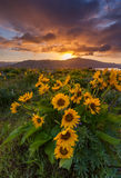 Beautiful sunrise and wildflowers at rowena crest viewpoint, Ore Royalty Free Stock Image