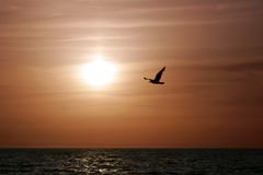 A beautiful Sunset. With a seagull flying Royalty Free Stock Photography