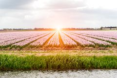 Sunset above colorful tulip field. Beautiful sunset above the colorful tulip field Royalty Free Stock Image