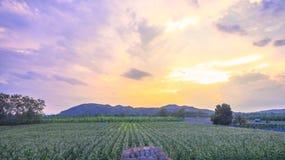 Beautiful sunset above corn fields Stock Photography