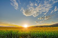 Beautiful sunset with corn field royalty free stock images