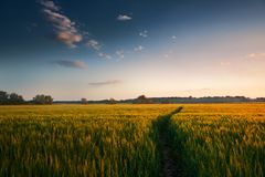 Beautiful sunset in field with footpath, spring landscape, bright colorful sky and clouds as background, green wheat Royalty Free Stock Photos