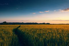 Beautiful sunset in field with footpath, spring landscape, bright colorful sky and clouds as background, green wheat Royalty Free Stock Photo