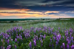 Beautiful sunset is in the field, wild flowers and grass, sunlight and dark clouds Royalty Free Stock Photo