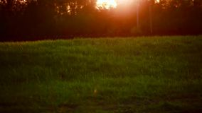 Beautiful sunset in the forest. Grass field flowers at sunset light. Colorful nature background stock footage