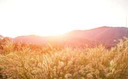 Beautiful sunset and grass flower on the meadows Royalty Free Stock Photos