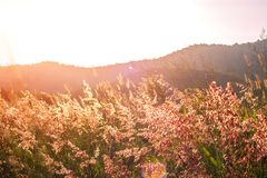 Beautiful sunset and grass flower on the meadows Stock Photos