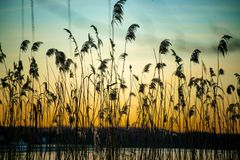 Beautiful sunset with grasses in foreground at the river Havel. Beautiful sunset with perennial grasses in foreground at the river Havel in Berlin royalty free stock photography
