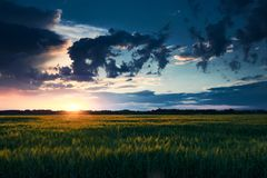 Beautiful sunset in green field, summer landscape, bright colorful sky and clouds as background, green wheat Stock Image
