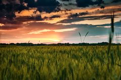 Beautiful sunset in green wheat field, summer landscape, bright colorful sky and clouds as background Stock Photography