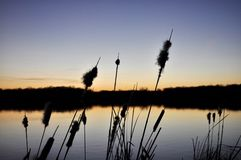Beautiful sunset by the lake. Bursting cattails cobs with fluffy seeds in a foreground Stock Photos