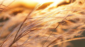 Beautiful sunset light with stipa plant on the meadow stock footage