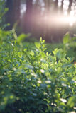 Beautiful sunset in Lithuania forest. Blueberry plant Stock Photos