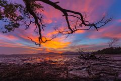 Beautiful sunset at mangrove forest during the low tide no water in mangrove forest. People can walk along the beach stock photography